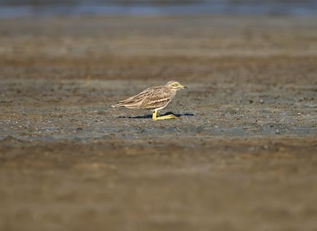 ユーラシアのイシチドリ。自然の生息地で巨大な黄色い目を持つ珍しいエキゾチックな鳥