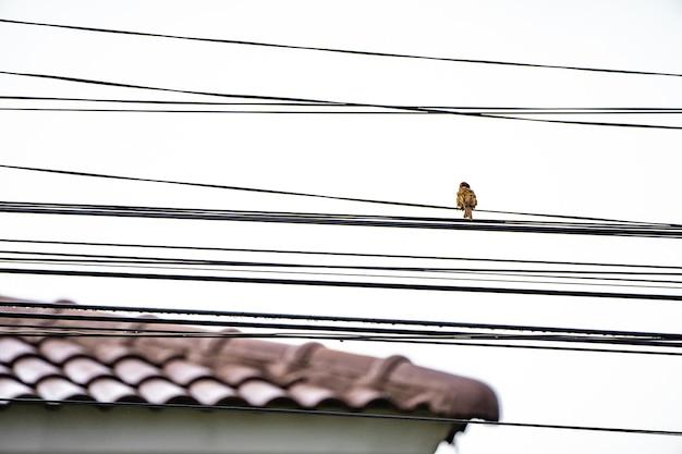 スズメの裏側にユーラシアの木があり、後ろの空を白くして電気ケーブルだけにぶら下がっています