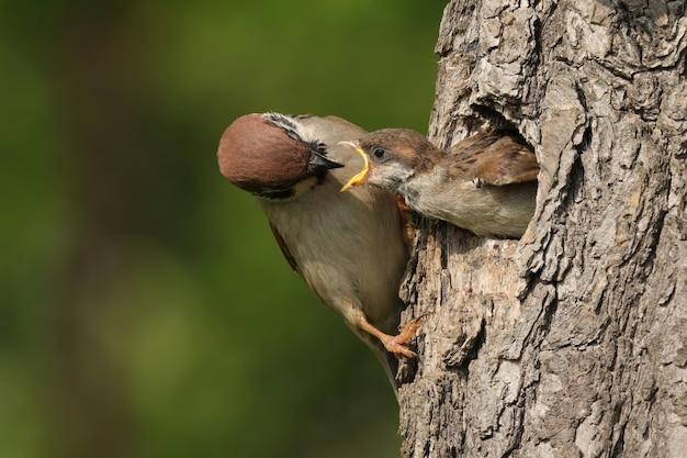 Евразийский древесный воробей гнездится в дупле дерева в весенней природе