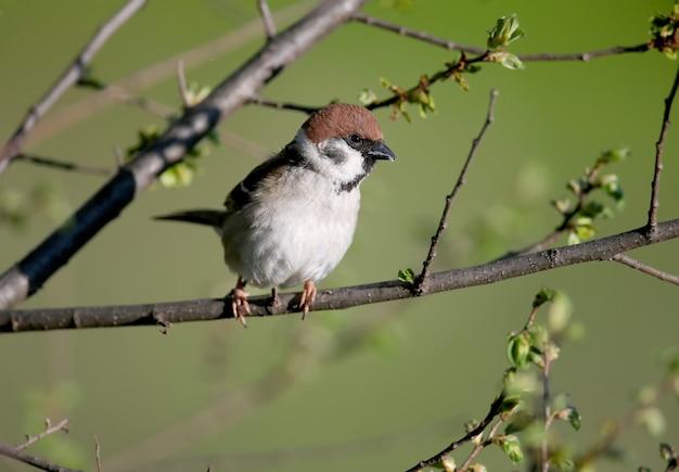 번식 깃털에 유라시아 나무 참새 (passer montanus)
