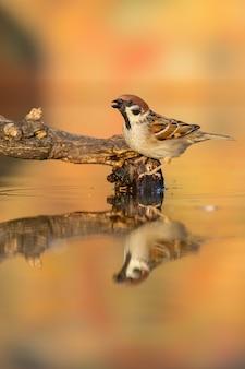 Евразийский древесный воробей, прохожий монтанус, сидя на ветке в пруду осенью.