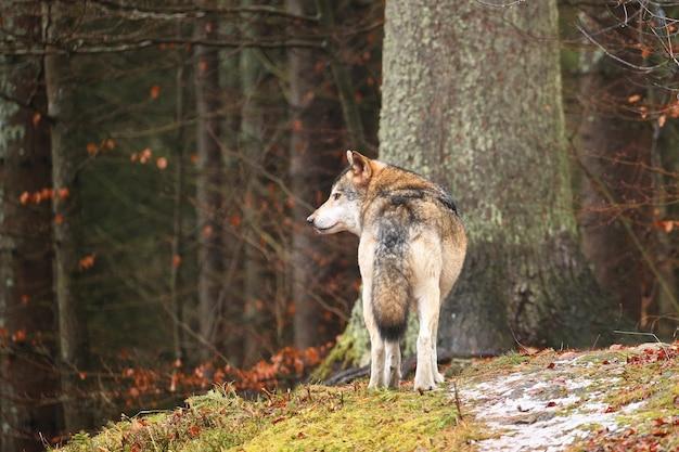 白い冬の生息地のヨーロッパオオカミ美しい冬の森