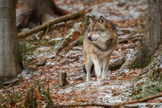 Евразийский волк стоит в естественной среде обитания в баварском лесу