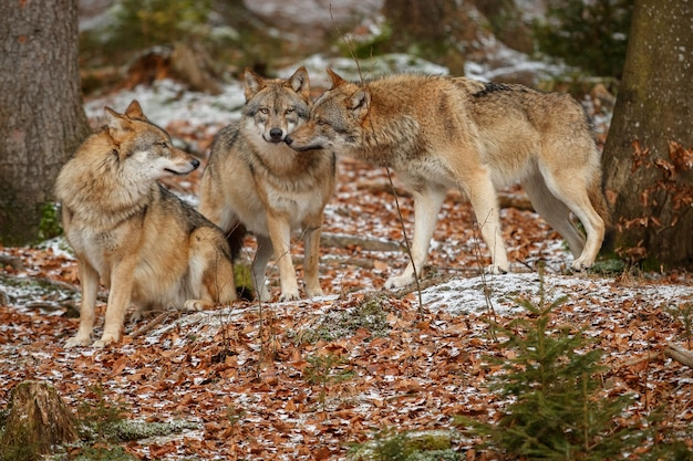 Il lupo eurasiatico è in piedi nell'habitat naturale della foresta bavarese