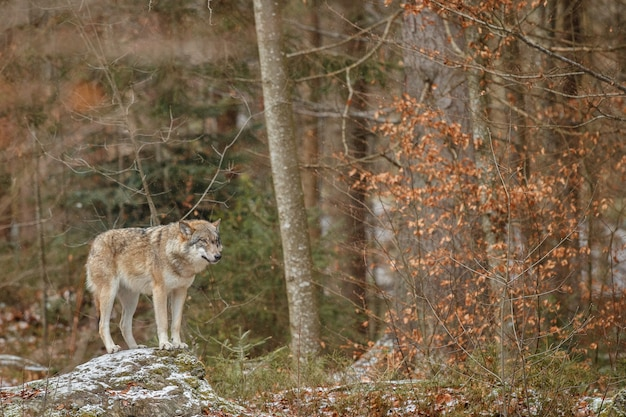 Eurasian wolf is standing in nature habitat in bavarian forest