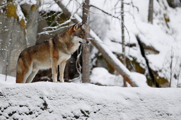 Lupo eurasiatico in bianco habitat invernale bella foresta invernale