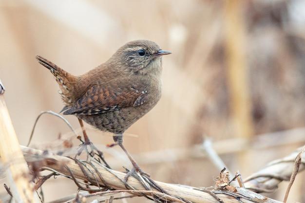 ミソサザイ(troglodytes troglodytes)自然の生息地に生息する野鳥。