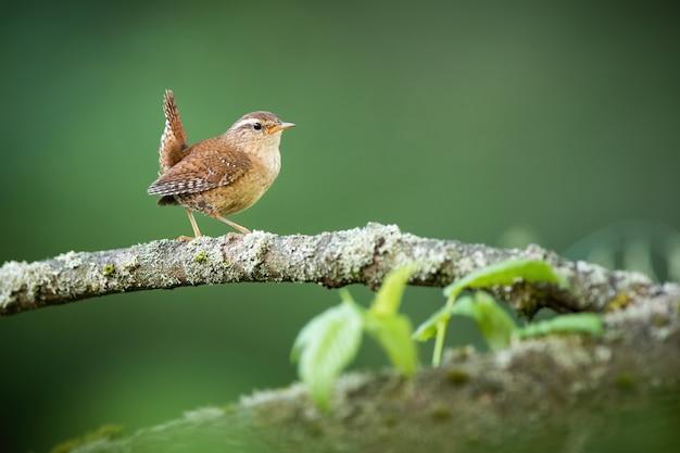 Евразийский крапивник гуляет по дереву в летней природе