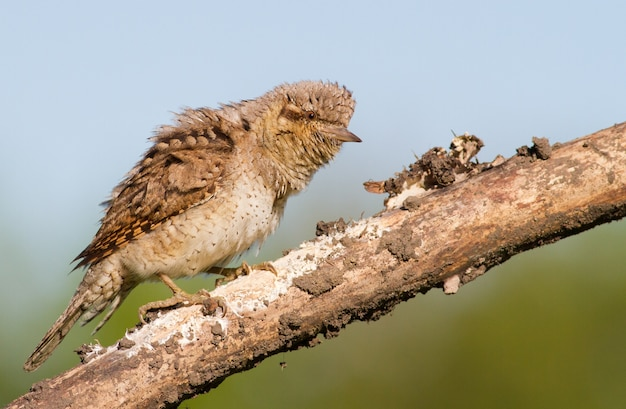 Eurasian wryneck is angry nervous
