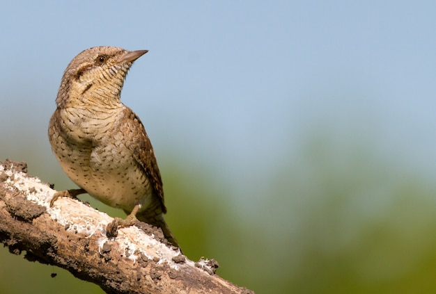 Eurasian wryneck sits on a thick old dry branch
