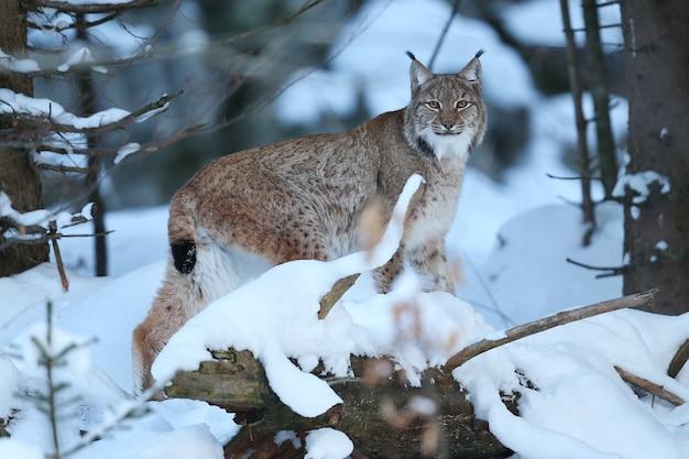 Euroasian lynx in the bavarian national park in eastern germany