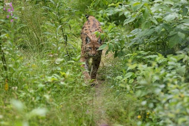 Lince euroasiatica faccia a faccia nel parco nazionale bavarese nella germania orientale