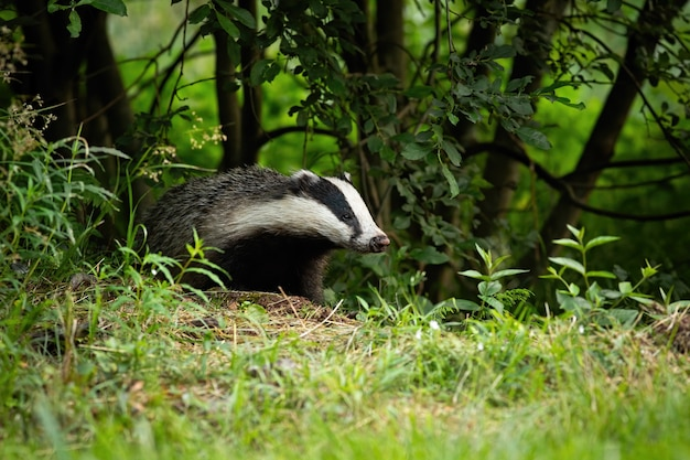 European badger coming out of forest on green meadow