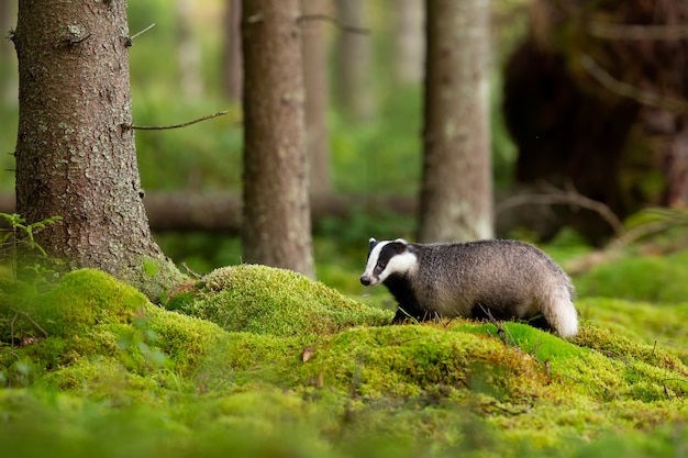 European badger in enchanting forest with green moss.