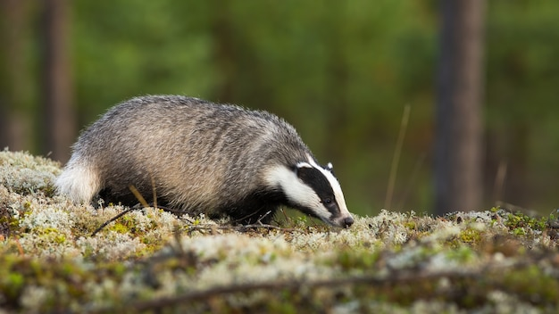 European badger, meles meles, sniffing on moss in summertime nature. wild badger smelling on rock in summer. striped mammal standing on stone in forest.