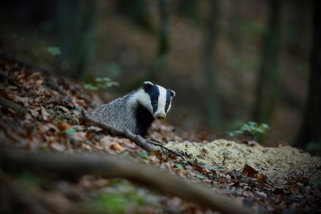 European badger peeking from hole in forest in summer