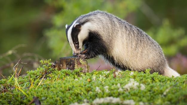 European badger sniffing on stump during the summertime.