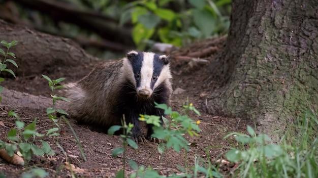 European badger standing in forest in summer evening.