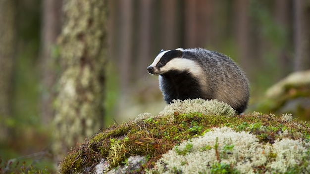 European badger standing on a rock in summertime