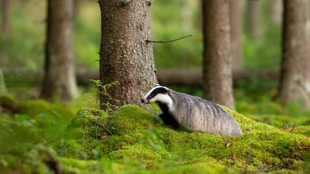 European badger walking on green moss in summer forest