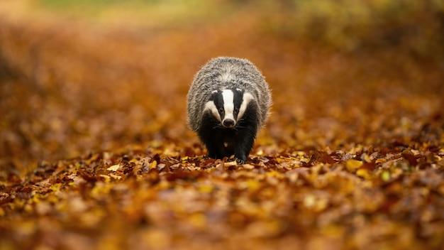 European badger walking on leaves in autumn