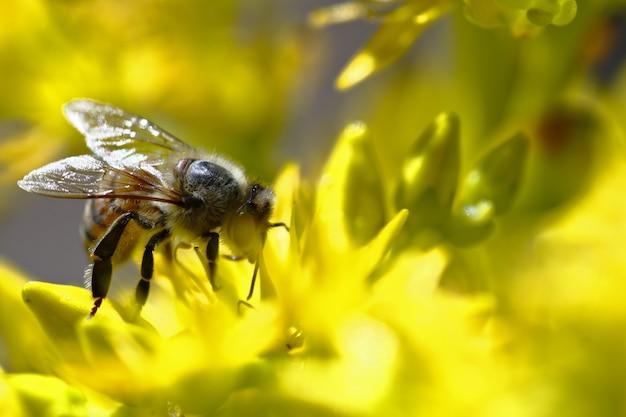 黄色い花を受粉するヨーロッパの蜂(apis mellifera)。
