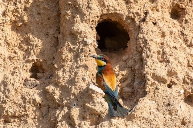 유럽 벌 먹는 사람. merops apiaster는 그의 구멍에 앉아 있습니다.