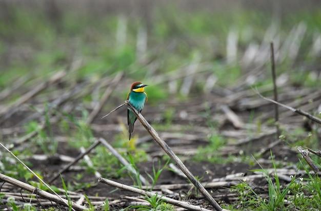 European bee-eater merops apiaster