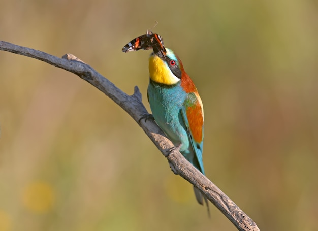 The european bee-eater sits on a branch and holds in his beak a large red butterfly named admiral