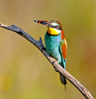 The european bee-eater sits on a branch and holds in his beak a large red butterfly