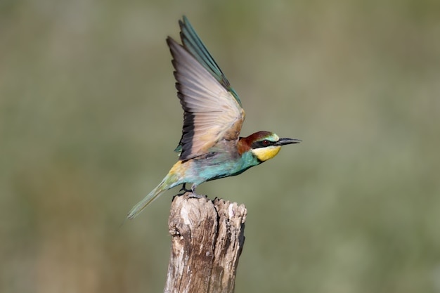 European bee-eater with wide-spread wings sits on a thick branch
