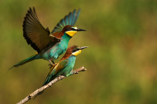 美しい背景で交尾するヨーロッパハチクイ(merops apiaster)。