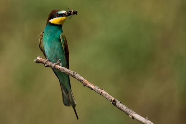 美しい背景のくちばしに蜂と棒に座っているヨーロッパハチクイ(merops apiaster)。