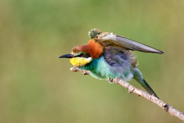 Европейские пчелоеды merops apiaster сидят на палке с распростертыми крыльями