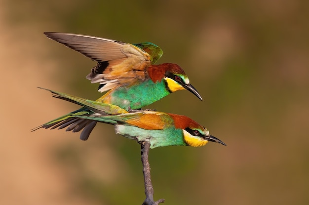 European beeeater mating on twig in summer nature