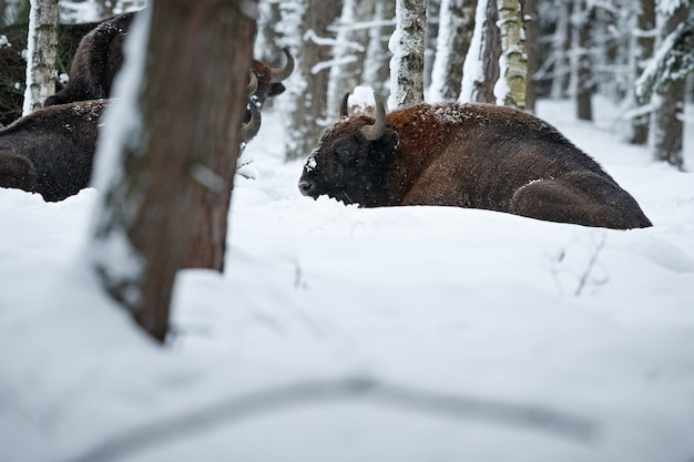 European bison in the beautiful white forest during winter time bison bonasus