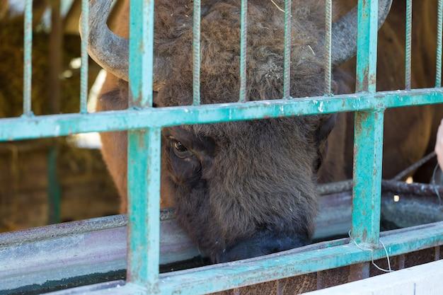 European bison - bison bonasus  in the moldavian reserve.