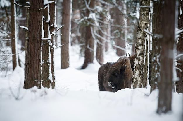 겨울 동안 아름다운 하얀 숲에 있는 유럽 들소 들소 보나수스