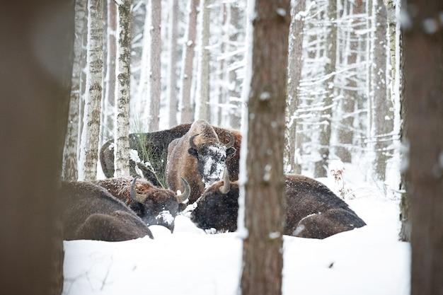冬の間の美しい白い森のヨーロッパバイソンバイソンbonasus