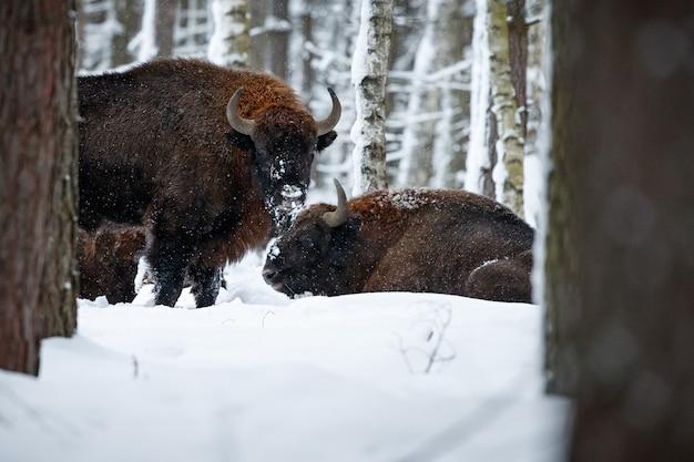 冬の間の美しい白い森のヨーロッパバイソンバイソンbonasus 無料写真