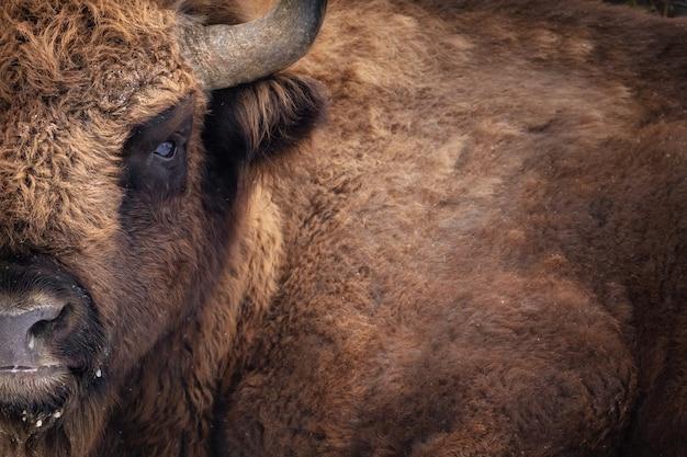Зубр в красивом белом лесу зимой bison bonasus