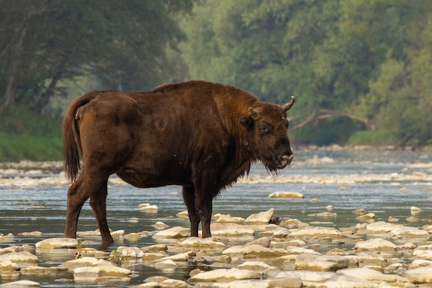 European bison standing on rocks in water in summer