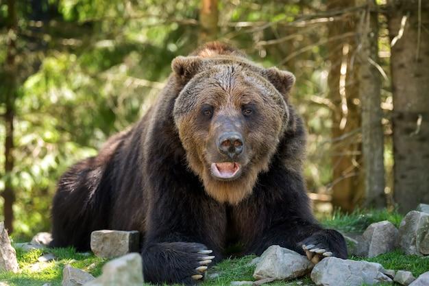 Европейский бурый медведь в лесу. дикое животное в естественной среде обитания