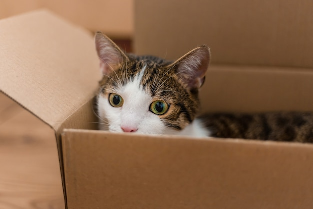European cat in a delivery box