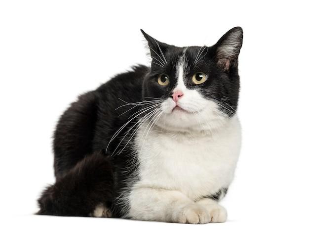 유럽 고양이 거짓말, 흰색 절연