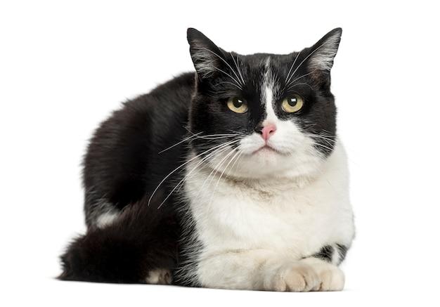 横たわっているヨーロッパの猫、白で隔離