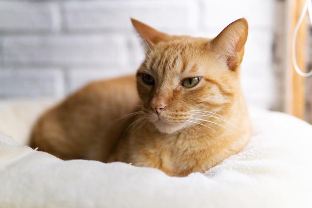 Европейская обыкновенная кошка сидит дома