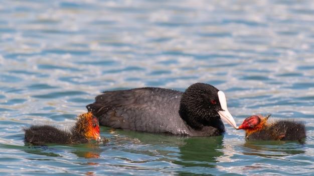 Европейская проститутка фулика атра кормит цыпленка на озере