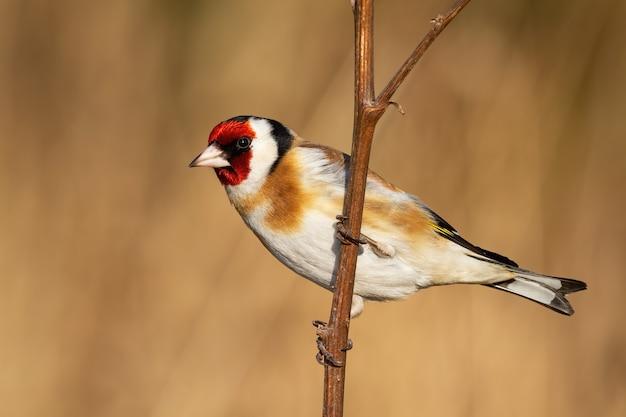 European goldfinch sitting on branch in winter nature
