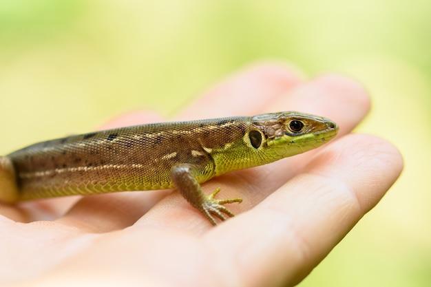 European green lizard in hand